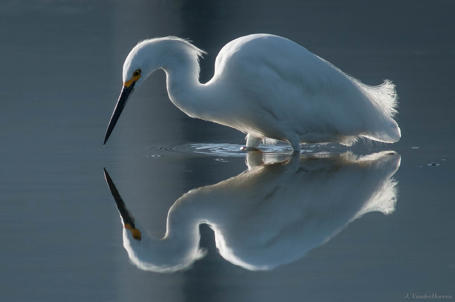Backlight Silhouette - Snowy Egret by Jake VanderHoeven