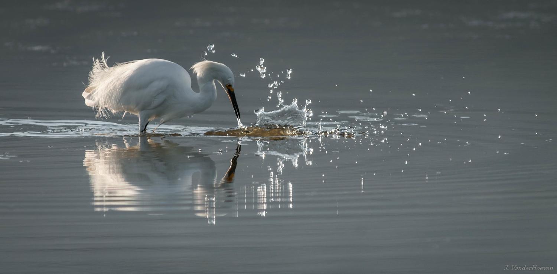 Near Miss - Snowy Egret by Jake VanderHoeven