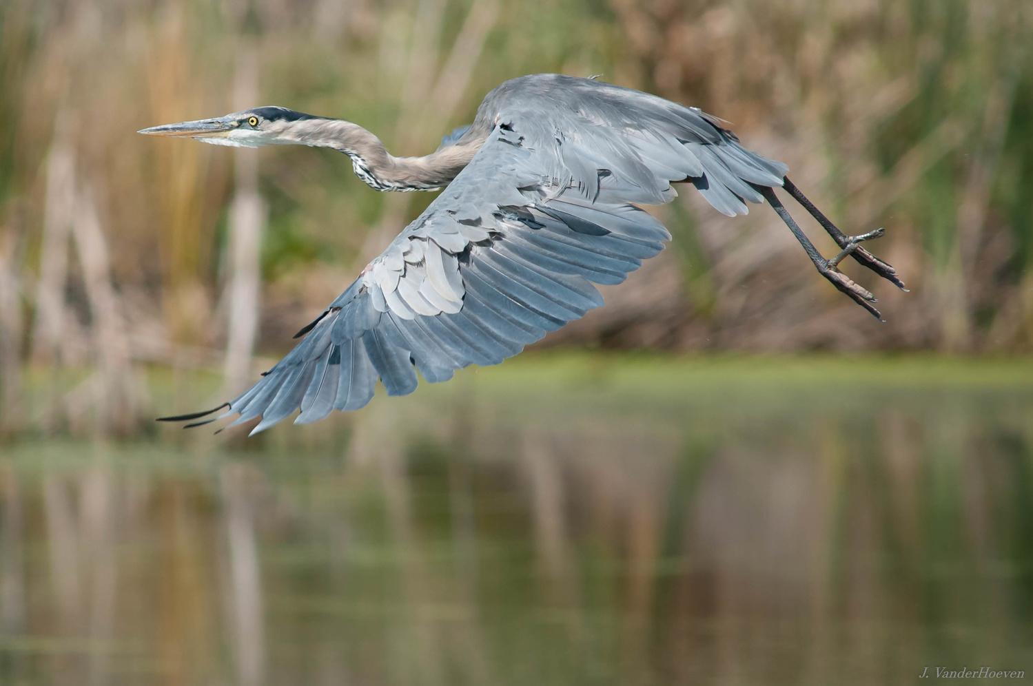Skimming the Reeds by Jake VanderHoeven