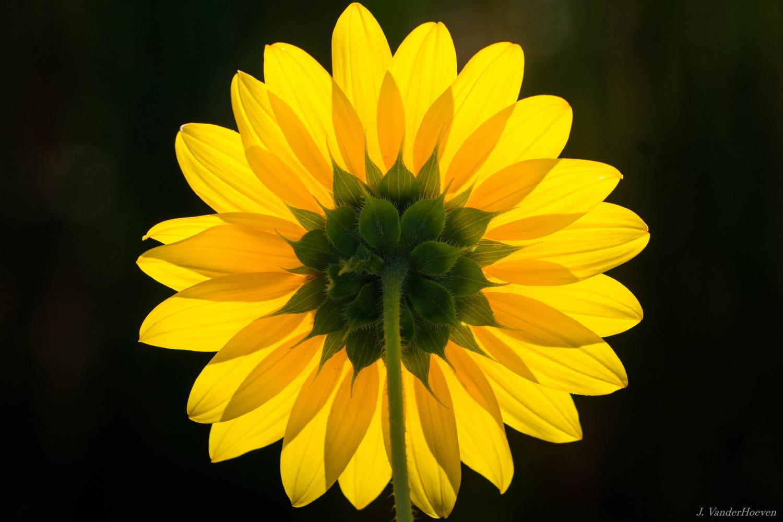 Last Sunflowers of Summer by Jake VanderHoeven