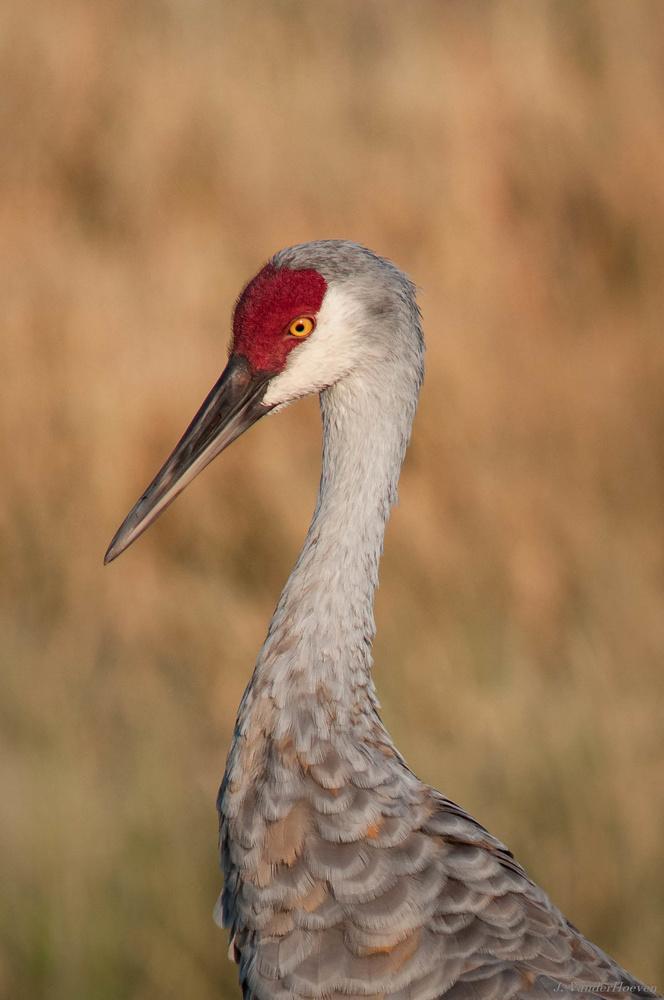 Sandhill Crane Profile by Jake VanderHoeven