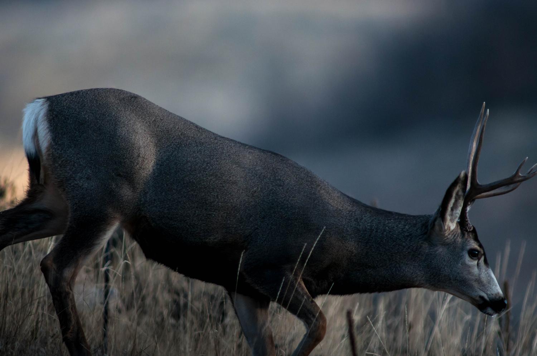 Muley at Dusk by Jake VanderHoeven