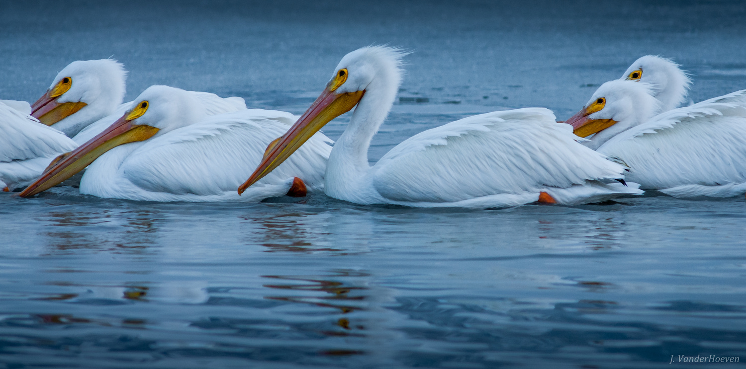 Pelicans on Ice by Jake VanderHoeven