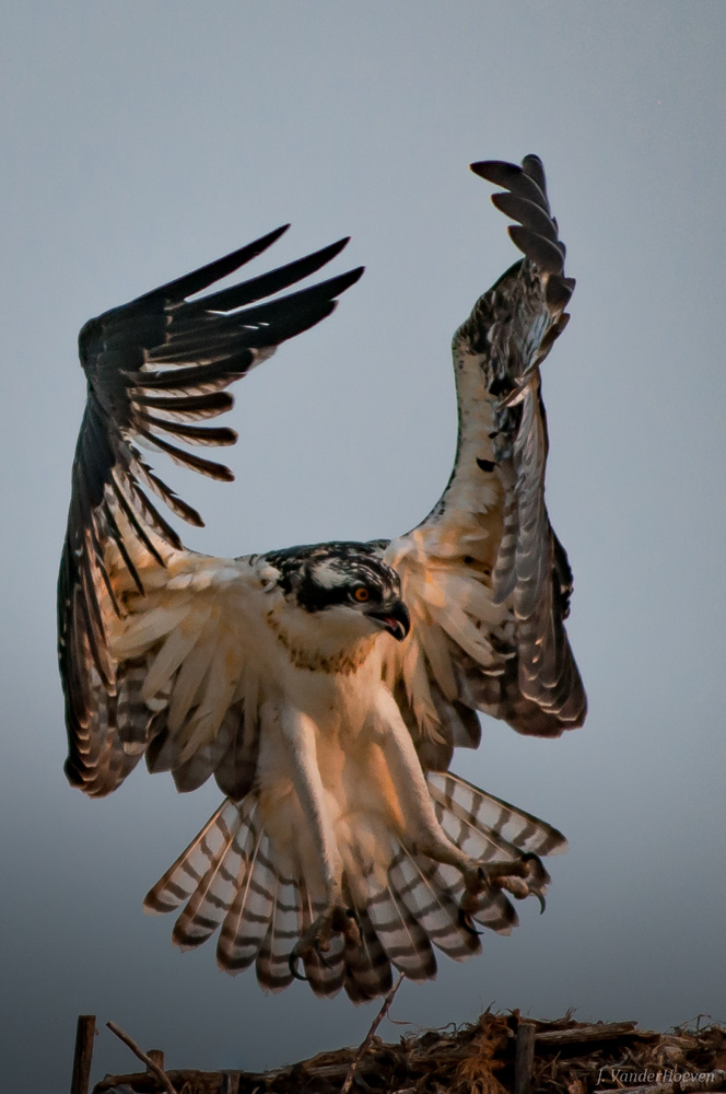 Young Osprey by Jake VanderHoeven