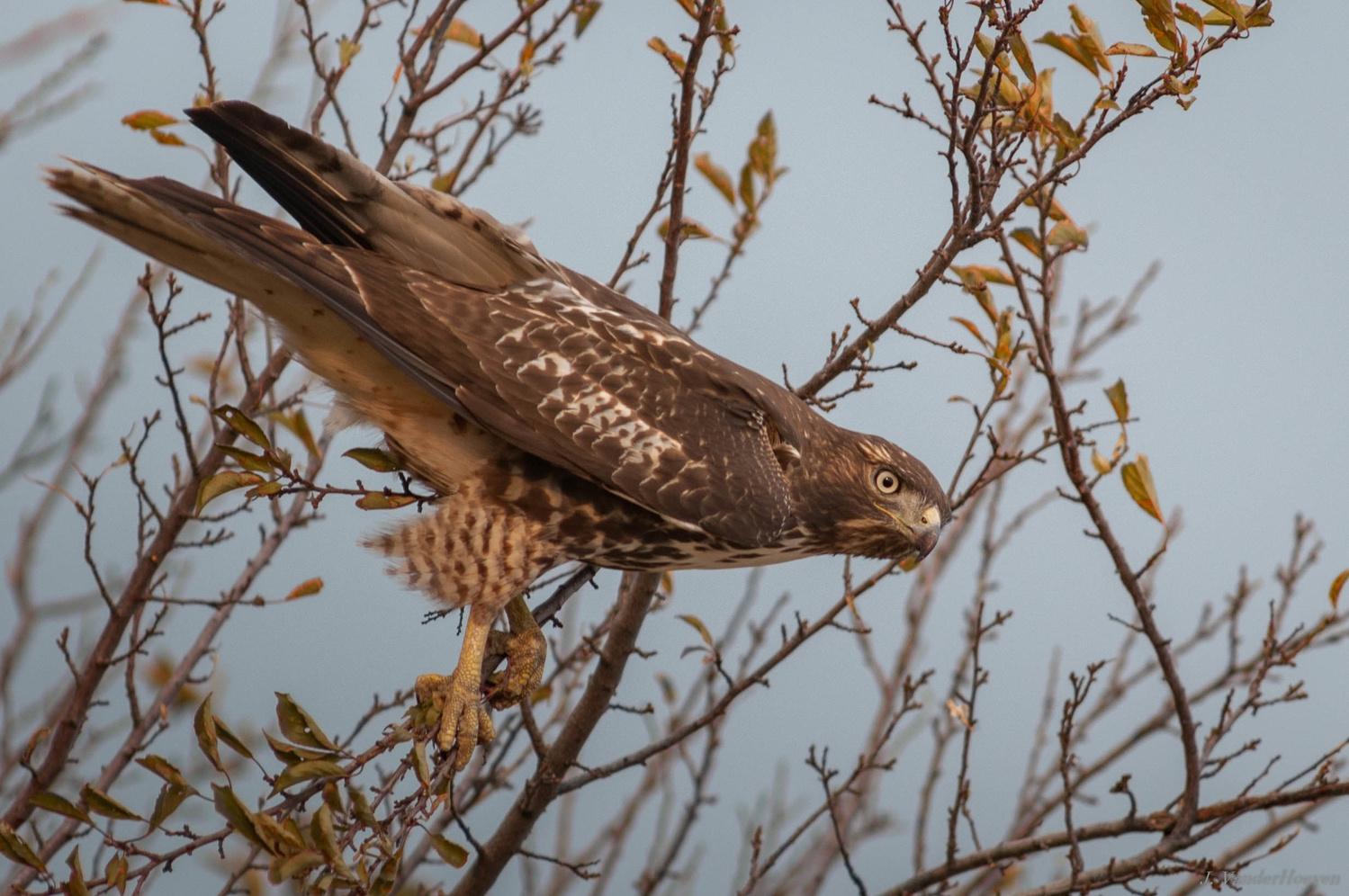 Redtail Hawk by Jake VanderHoeven