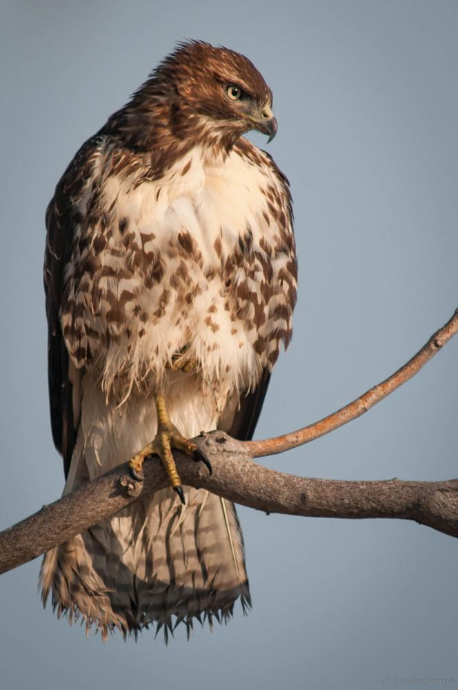 Coopers Hawk by Jake VanderHoeven