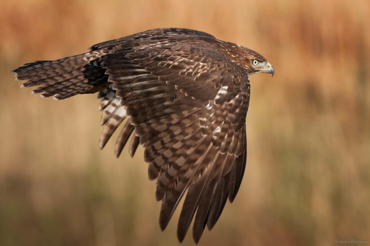 Flight - Coopers Hawk by Jake VanderHoeven