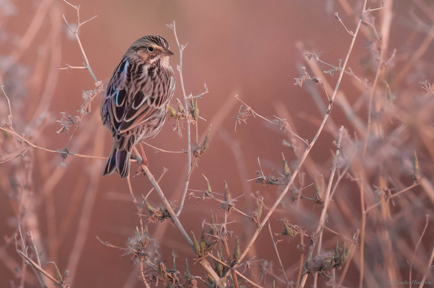 Morning Sparrow by Jake VanderHoeven
