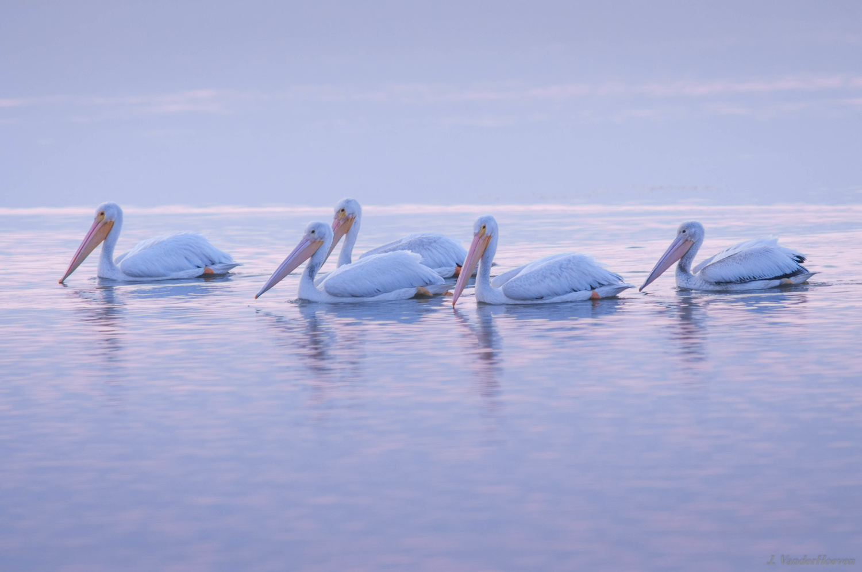 Morning Glow - American Pelicans by Jake VanderHoeven