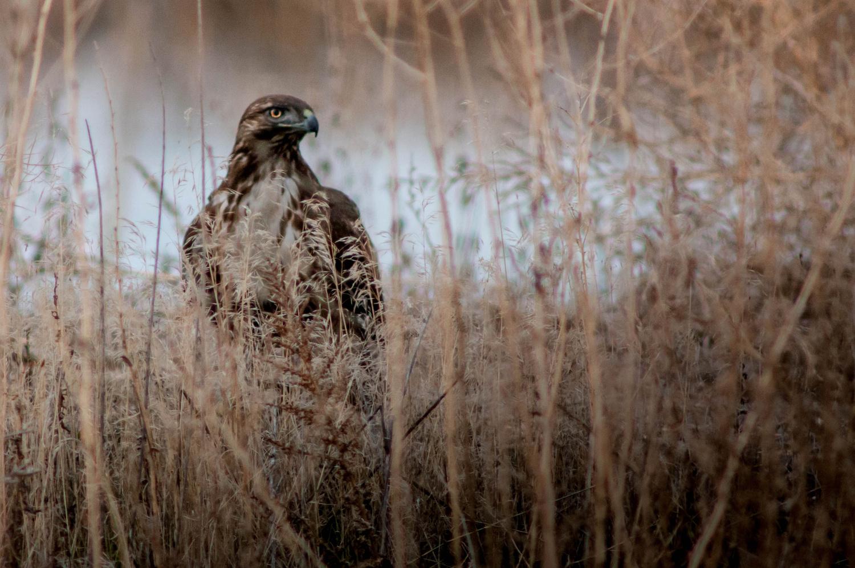 Hawk in the Grass by Jake VanderHoeven