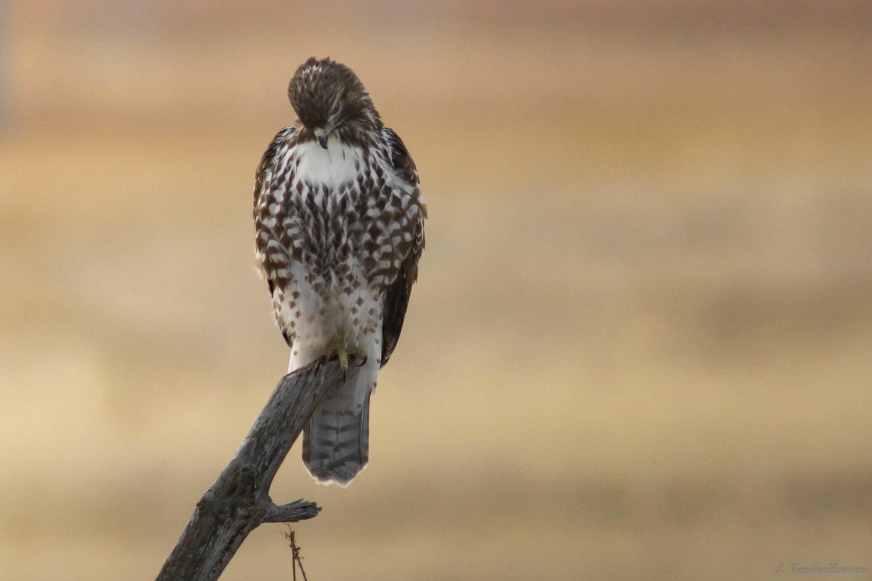 The Vigil - Coopers Hawk by Jake VanderHoeven