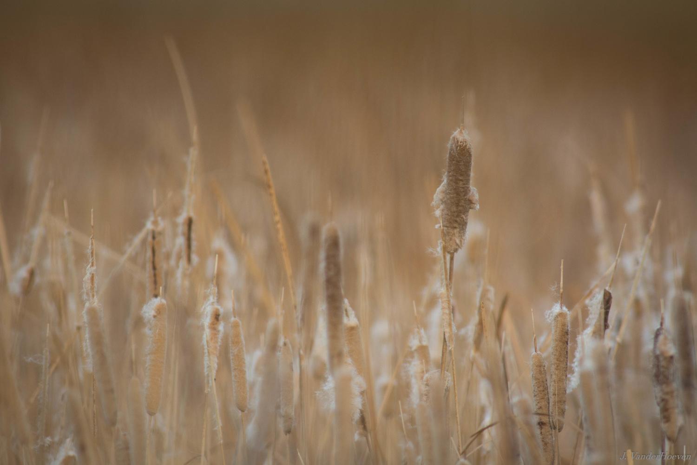 Bulrushes - Wetlands by Jake VanderHoeven