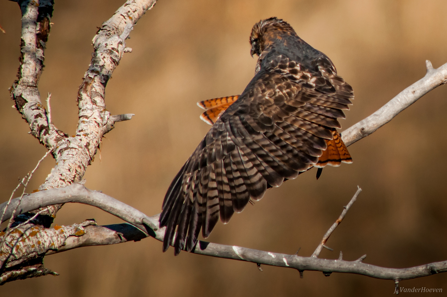 Autumn Red Tail by Jake VanderHoeven