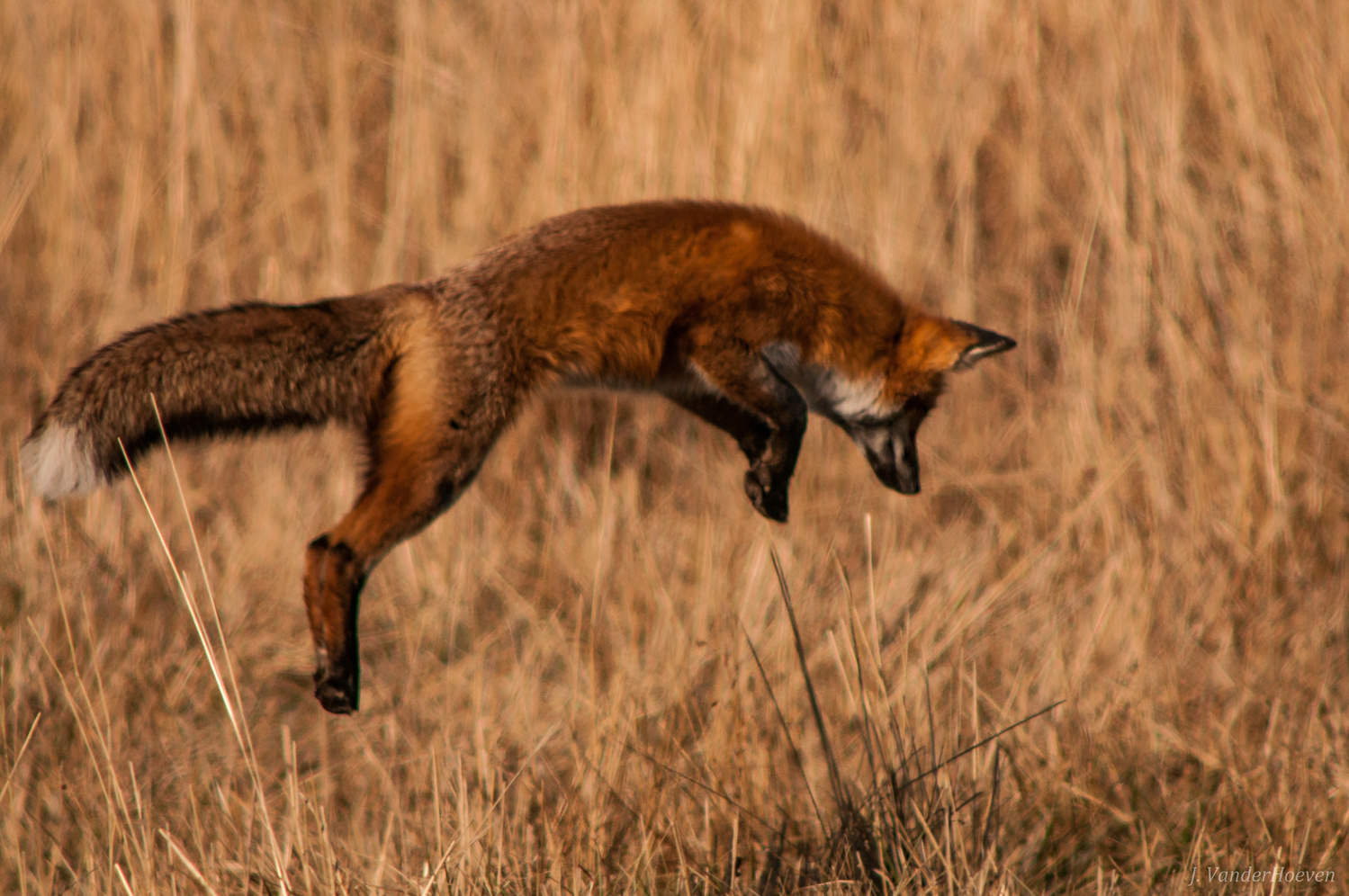 Pouncing Fox by Jake VanderHoeven