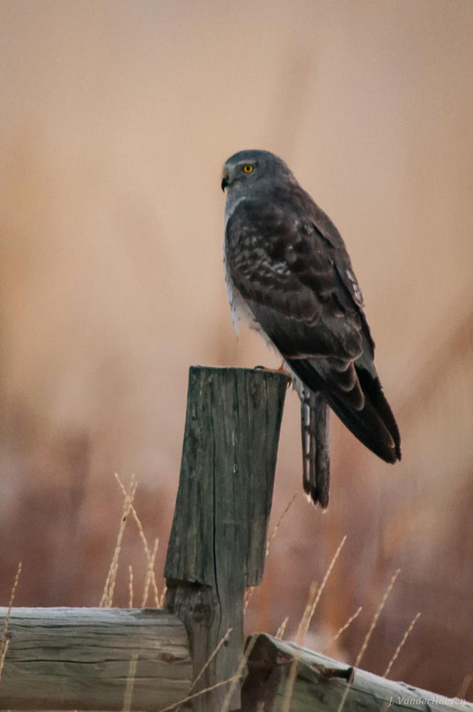 Sunday Morning Harrier by Jake VanderHoeven