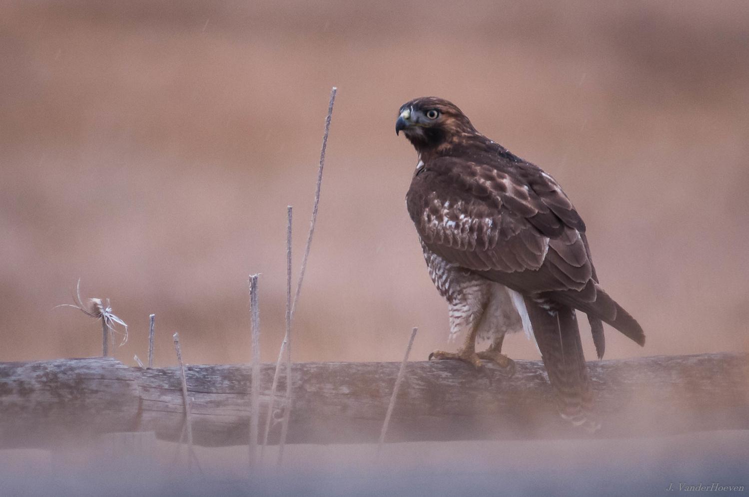 Hawk by Jake VanderHoeven