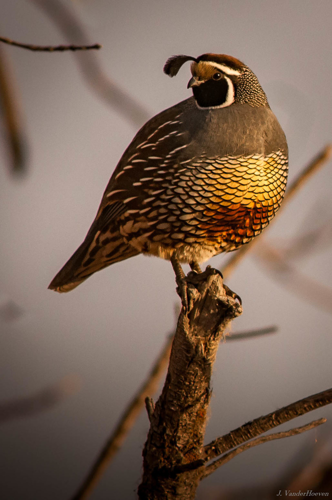 Quail in the Golden Hour by Jake VanderHoeven