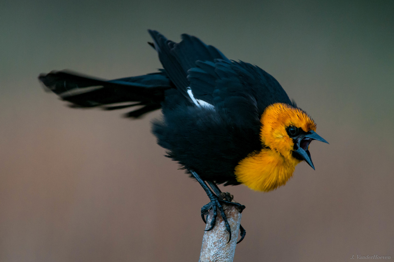 Passion of a Blackbird by Jake VanderHoeven