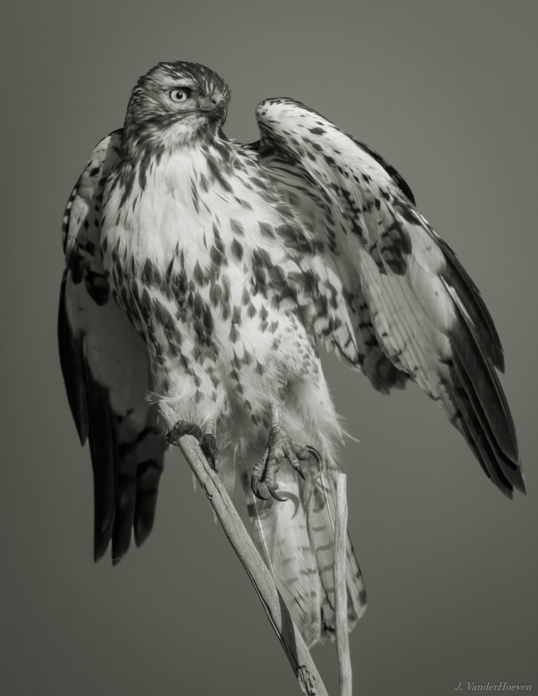 Thunderbird by Jake VanderHoeven