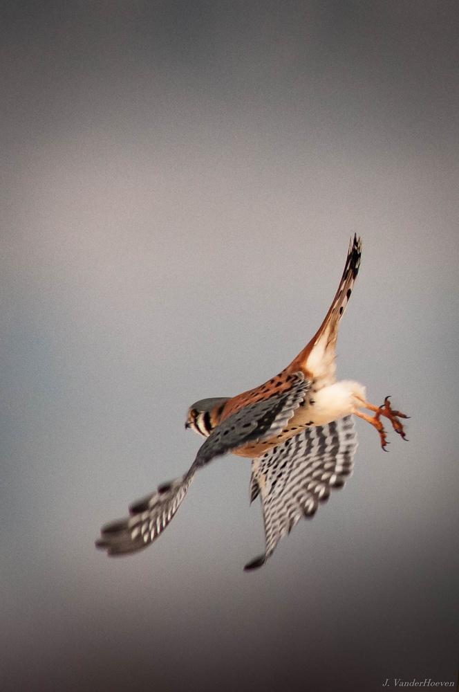 Hop, Skip, and a Jump! - American Kestrel by Jake VanderHoeven