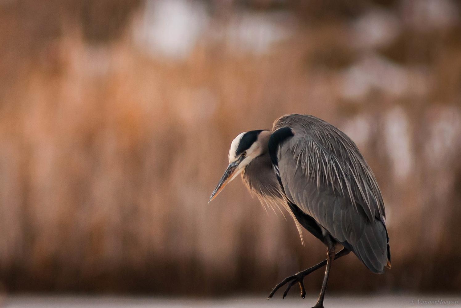 Heron at Dusk by Jake VanderHoeven