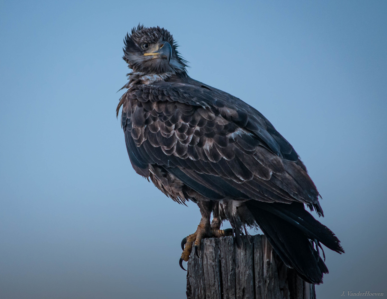 Young Eagle by Jake VanderHoeven