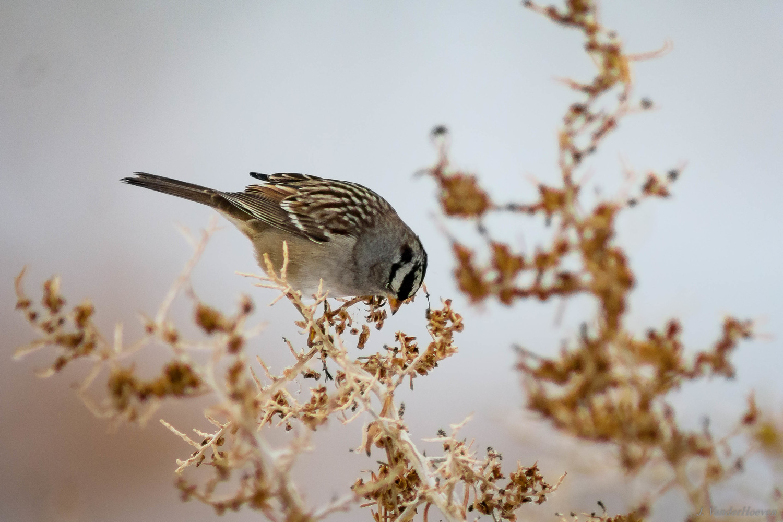Sparrow by Jake VanderHoeven