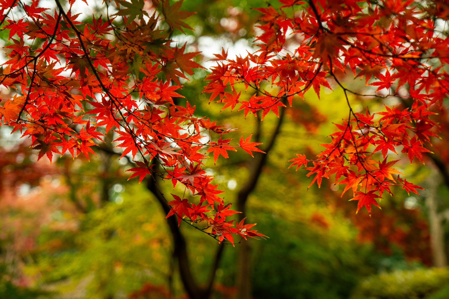 Red Maple by Philippe Clairo