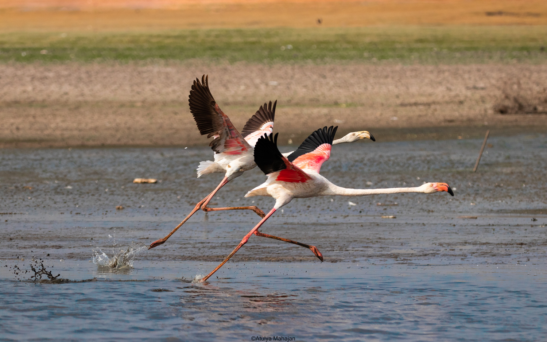 Greater Flamingoes taking off by Atulya Mahajan
