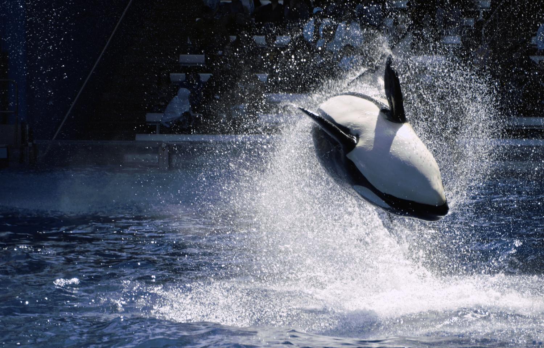 Shamu, SeaWorld Orlando by Brian Barnett
