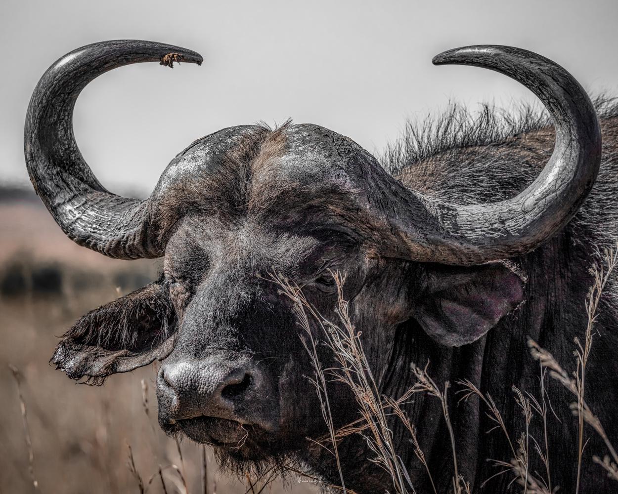 Cape Buffalo by Marius van Dyk