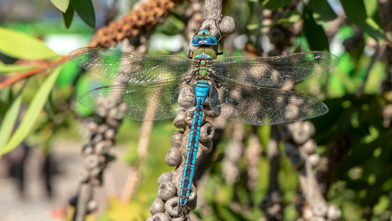 Dragonfly by Srki De-La Vega