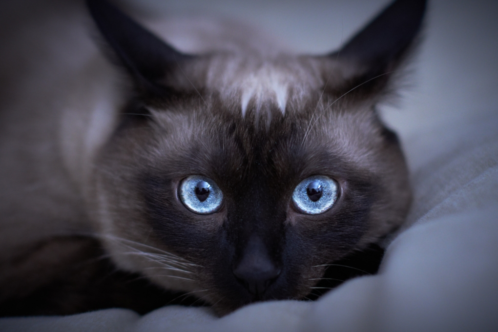 Siamese eyes by Klefer Vinz