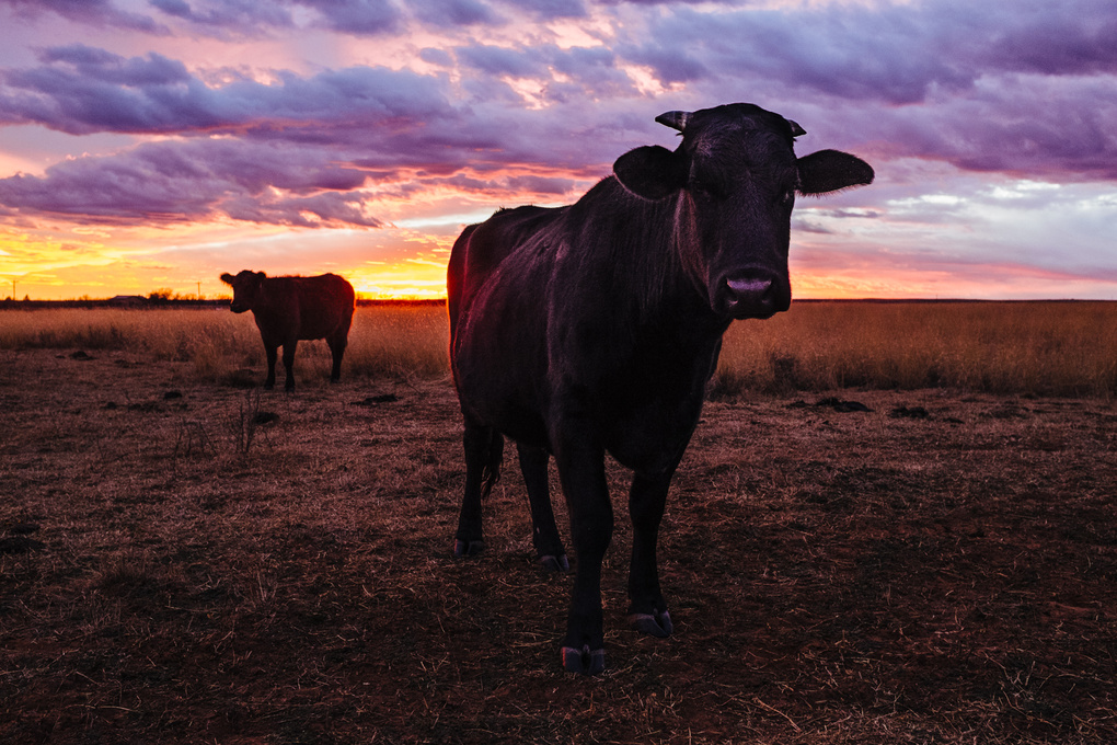 Cattle at Sunset by David Vaughn
