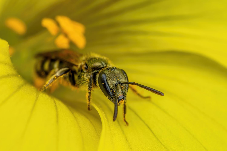 Sweat Bee in a Sourgrass Flower by John Kimbler