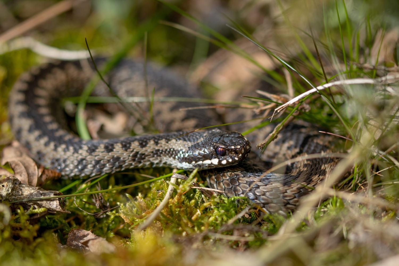 European viper sunbathing by Erik Nilsson