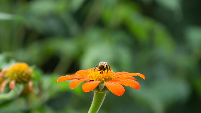 Bee on orange flower by Eric Kremer