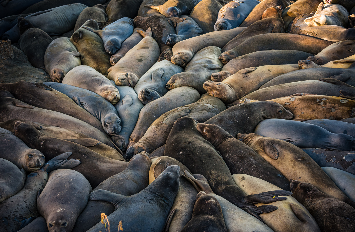 Seal Siesta by Alex Hill
