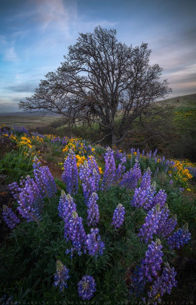Lupine Hills by Jordan Inglee