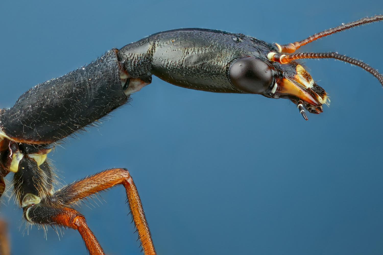 Raphidioptera by Andrew Shapovalov