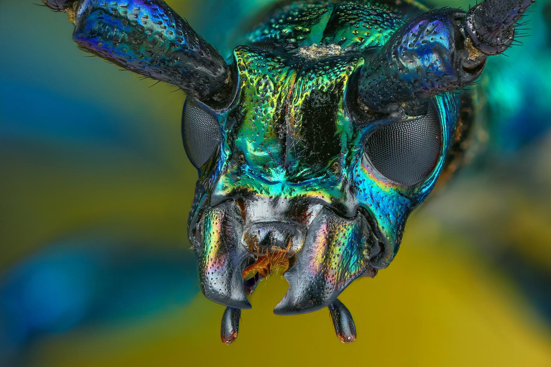Longhorn beetle by Andrew Shapovalov