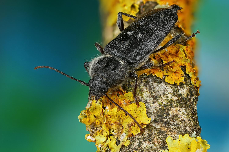 Beetle by Andrew Shapovalov
