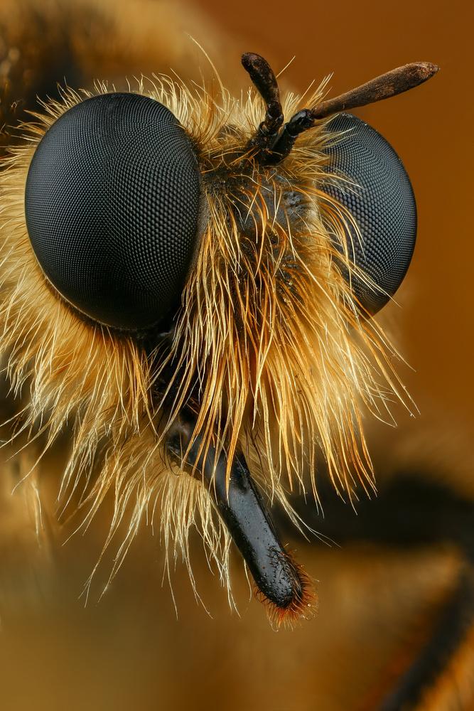 Robberfly by Andrew Shapovalov