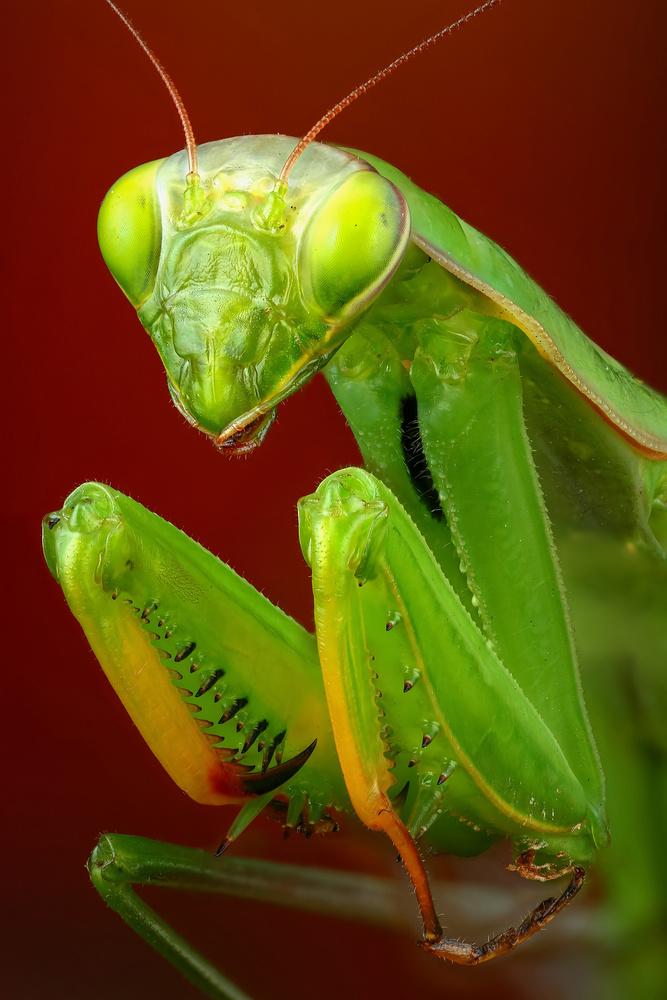 Mantis by Andrew Shapovalov