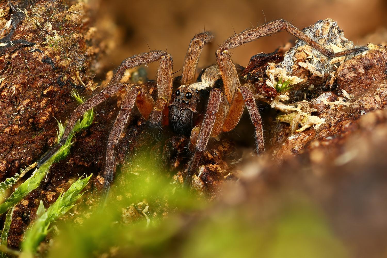Wolf spider by Andrew Shapovalov