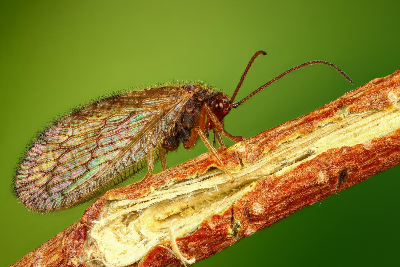 Hemerobiidae by Andrew Shapovalov