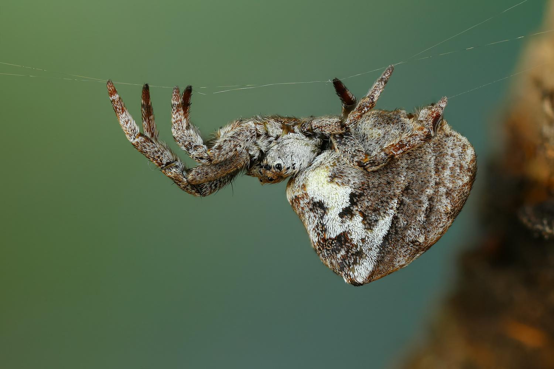 Furry spider by Andrew Shapovalov