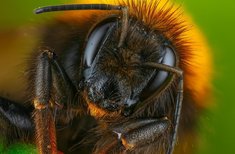 Bumblebee by Andrew Shapovalov