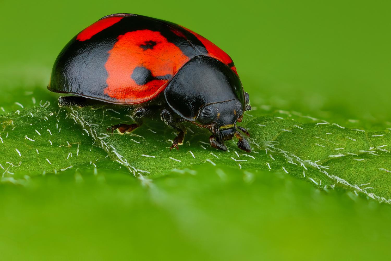 Ladybug by Andrew Shapovalov