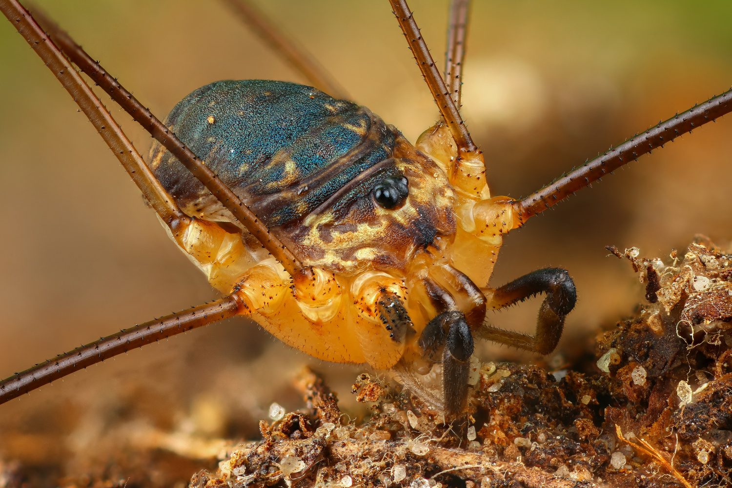 Opiliones by Andrew Shapovalov